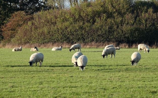 牧草地で放牧している羊のクローズアップショット