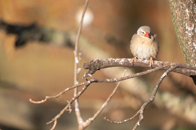 木の枝にとまる赤いくちばしとスズメのクローズアップショット