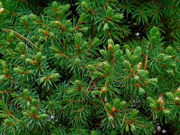 トウヒの木の枝のクローズアップショット