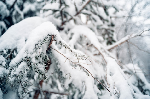 雪で覆われたトウヒの木のクローズアップショット
