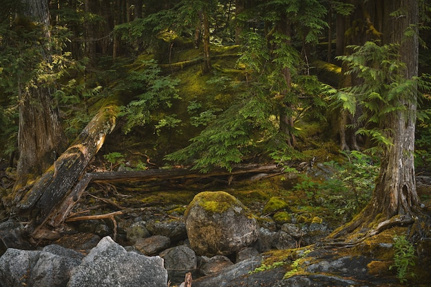 ワシントンの森の苔や木々に覆われた石のクローズアップショット