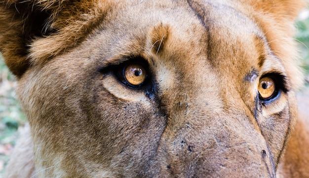 雌ライオンの頭のクローズアップショット