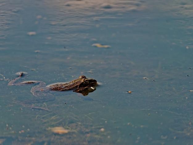 ヨーロッパの湖でのワライガエルpelophylaxridibundusのクローズアップショット