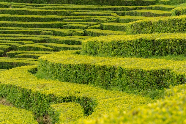 ポルトガル、サンミゲル島の茶工場の最も古い緑茶農園の列のクローズアップショット