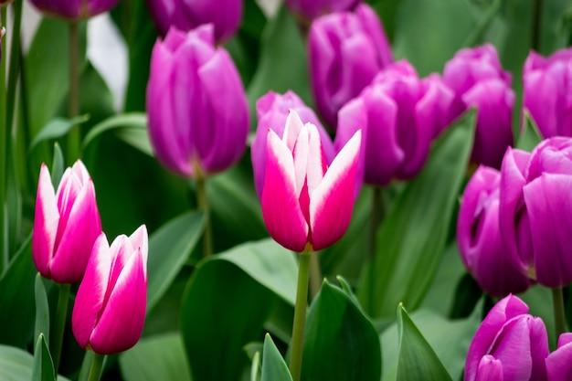 晴れた日にフィールドでピンクと紫のチューリップの花のクローズアップショット