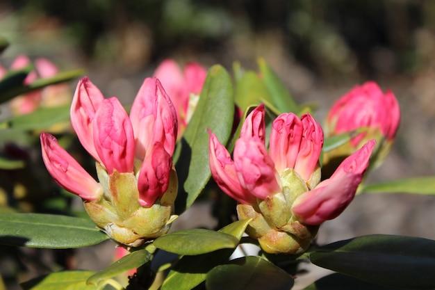 晴れた日に庭でピンクのシャクナゲの花のクローズアップショット