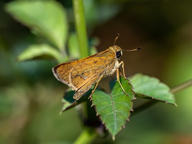 요코하마 근처 잔디 선장 나비 종의 근접 촬영 샷