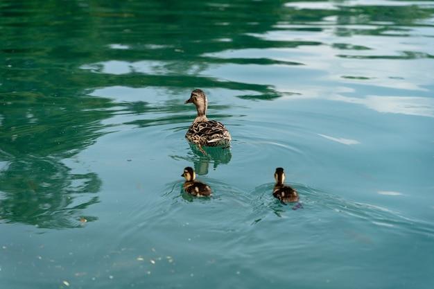 昼間にスロベニアのブレッド湖で泳いでいる3匹のかわいいアヒルのクローズアップショット-家族