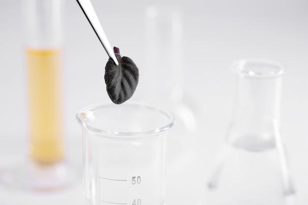 실험실에서 유리 접시 위에 작은 검은 잎을 들고 핀셋의 근접 촬영