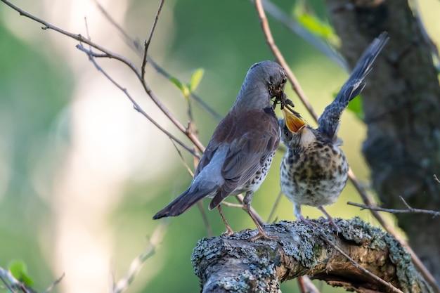 木の枝に座って互いに遊んでいる2羽の鳥のクローズアップショット