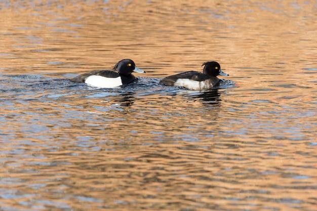 湖で泳いでいる2羽の黒と白のアヒルのクローズアップショット