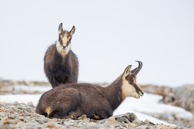 겨울에 바위에 두 샤무아의 근접 촬영 샷