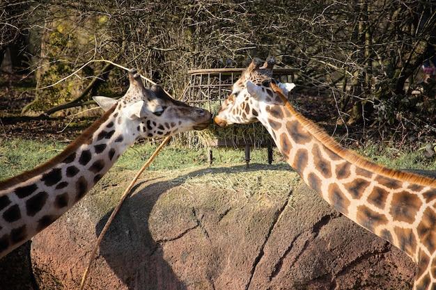 お互いにキスをしているように餌の谷から干し草を食べる2匹のキリンのクローズアップショット