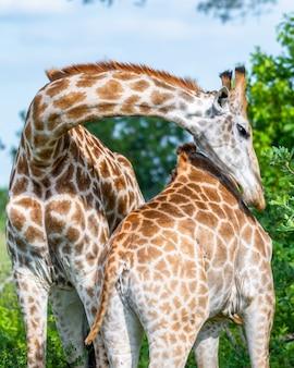 햇빛 아래 공원에서 나무에 둘러싸여 서로 포옹하는 두 기린의 근접 촬영 샷