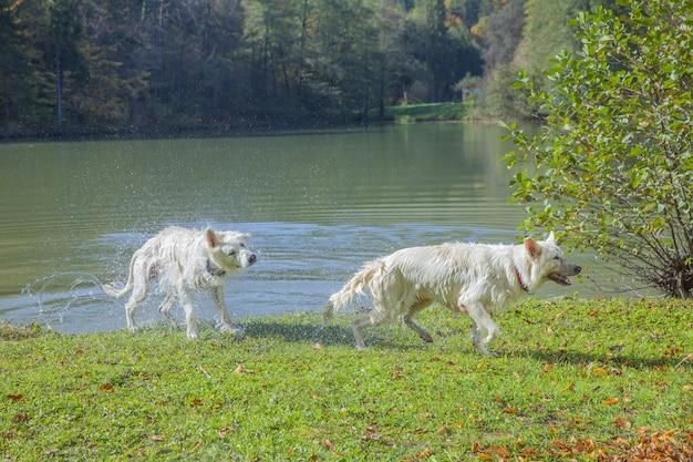 緑の牧草地の湖から出てくる2人の羊飼いのクローズアップショット