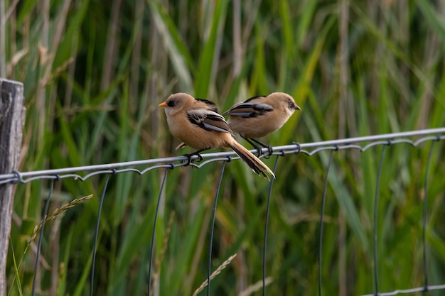 草の後ろの金属コードに座っている2羽の小鳥のクローズアップショット