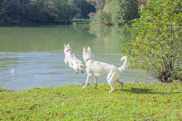湖の近くの公園で遊んでいる白い犬のクローズアップショット