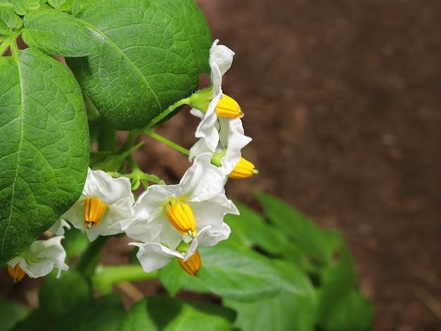 緑の葉と白いジャガイモの上の花のクローズアップショット