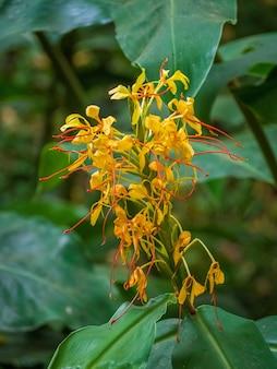 Крупным планом желтые цветы имбиря кахили с зеленью