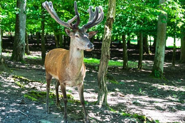 公園で若いかわいい鹿のクローズアップショット