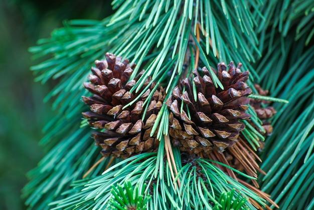 Closeup shot of open cones and conifer needles