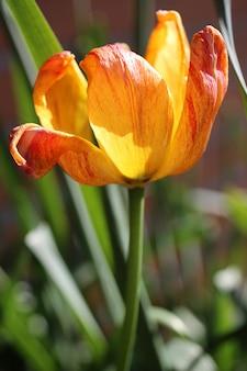 Colpo del primo piano del fiore del tulipano arancione e rosso dell'albero in giardino in una giornata di sole