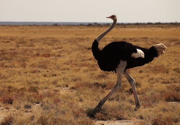 Closeup shot of an ostrich running on the grassy savanna plain in namibia