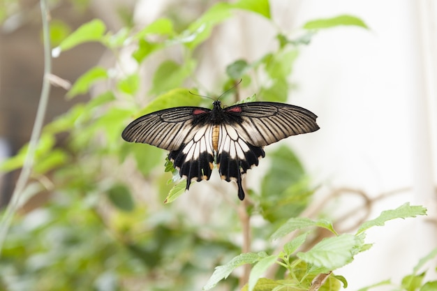 Closeup shot of a papilio lowi on green leaves with a bokeh background