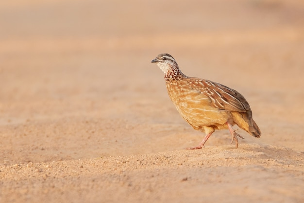 Colpo del primo piano di un uccello della pernice che cammina sulla sabbia