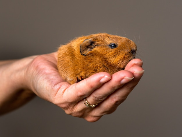 Closeup shot of a person holding a brown guinea pig
