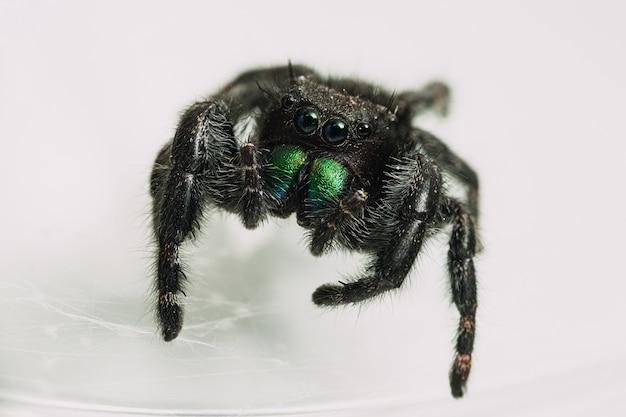 Closeup shot of a phidippus audax, a bold jumping spider