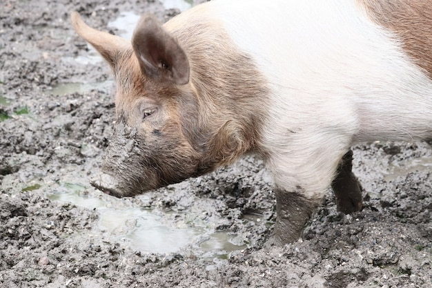 Closeup shot of a pig walking in the mud