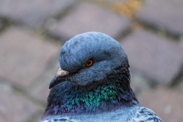 Closeup shot of a pigeon