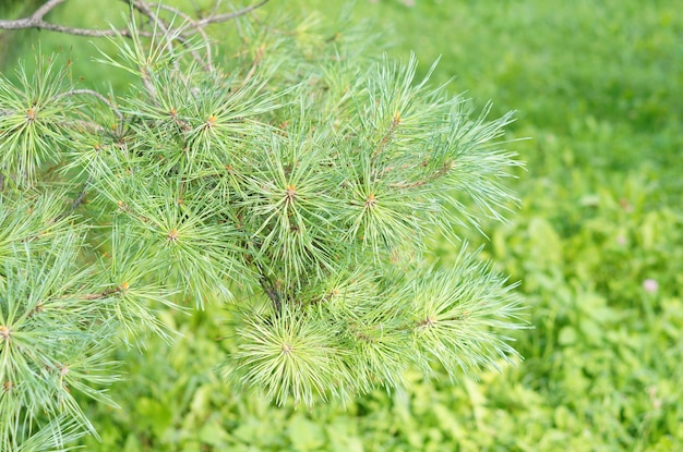 Closeup shot of pine needles on a tree against green grasses of a lawn