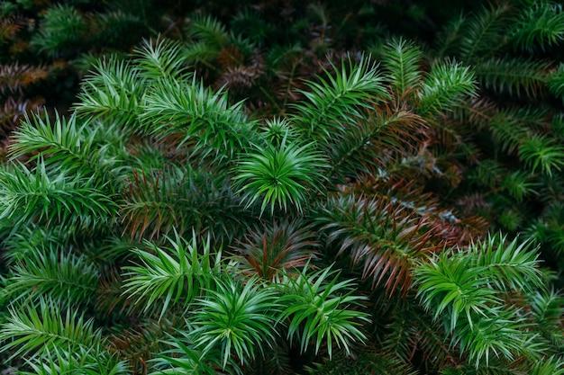 Colpo del primo piano delle foglie di pino