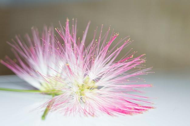 Colpo del primo piano dei fiori rosa di un shameplant
