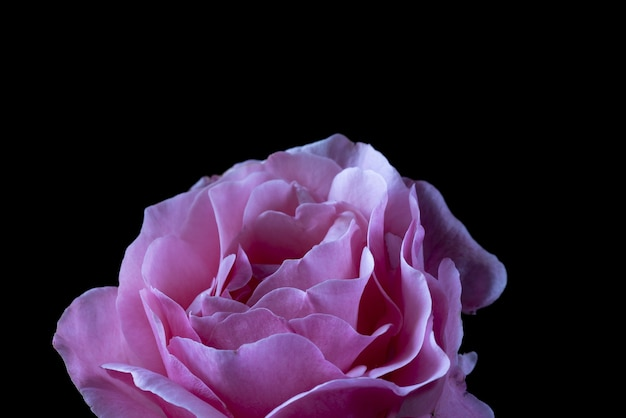 Closeup shot of a pink rose on black
