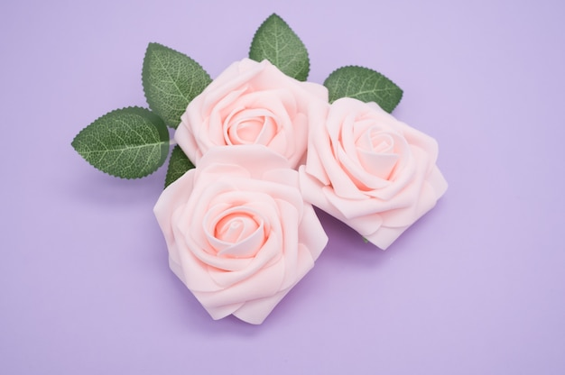 Closeup shot of pink roses isolated on a purple background