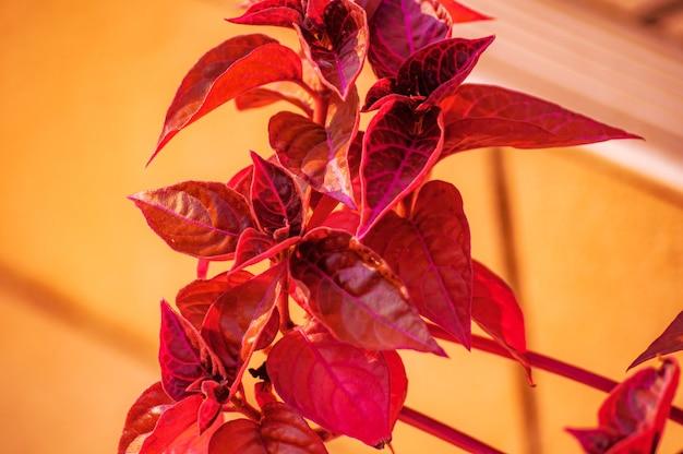 Colpo del primo piano di una pianta con foglie rosse su uno sfocato
