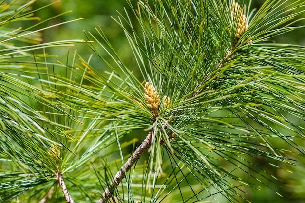 Colpo del primo piano dei rami del pino dello stagno sotto la luce solare