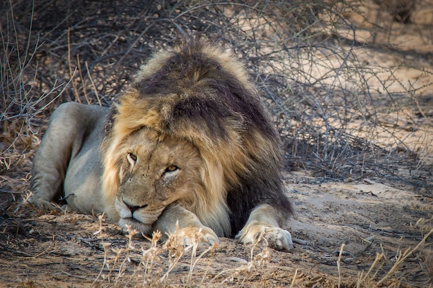 Closeup shot of a powerful lion laying on the ground