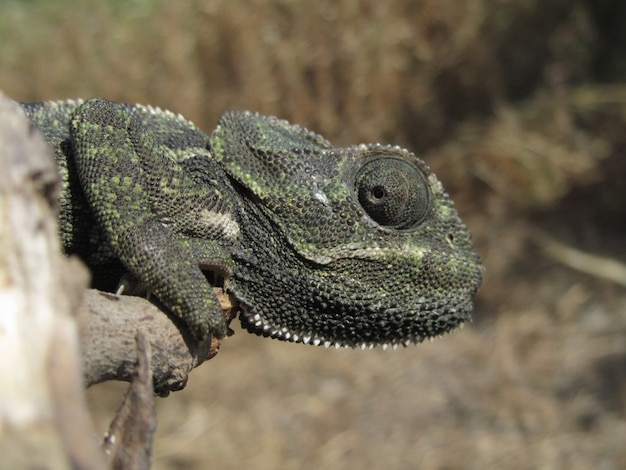 Closeup shot of a profile of a mediterranean chameleon sitting on a branch in malta