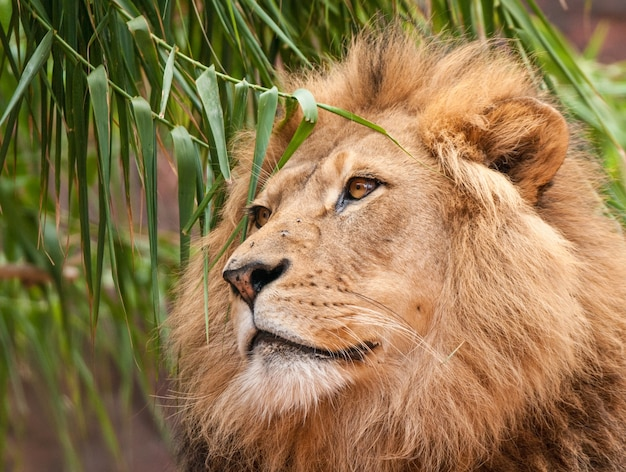 Primo piano di un fiero leone con la testa tra le foglie di un salice