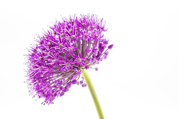 Colpo del primo piano della testa di fiore viola allium su bianco