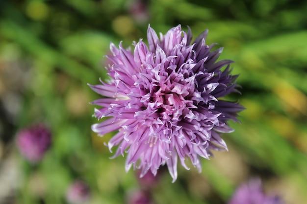 Colpo del primo piano di un fiore viola dell'erba cipollina su uno sfondo sfocato
