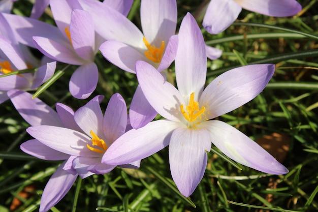 Colpo del primo piano del fiore di primavera del croco viola nel giardino in una giornata di sole