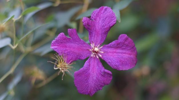 Colpo del primo piano di gilliflower viola