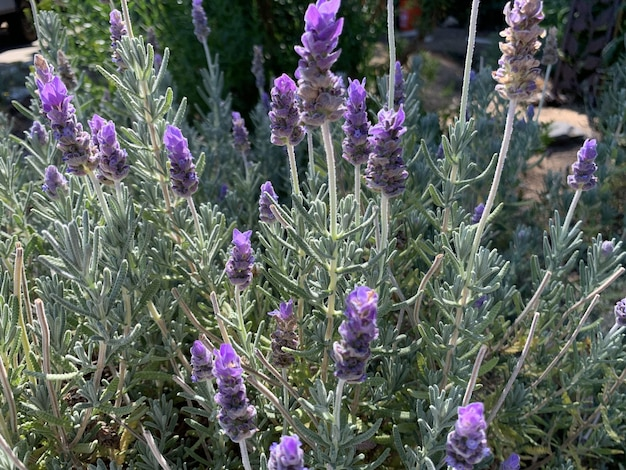 Closeup shot of purple lavender flowers in a park