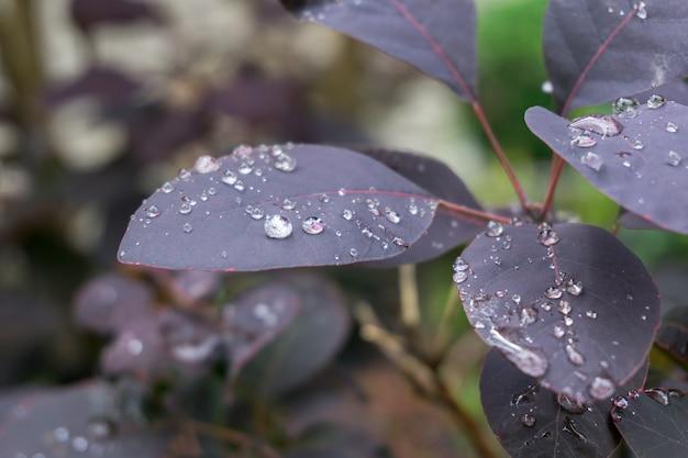 Colpo del primo piano delle foglie della pianta viola ricoperte di gocce di rugiada