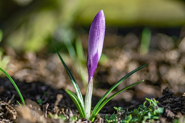 Closeup shot of a purple saffron crocus